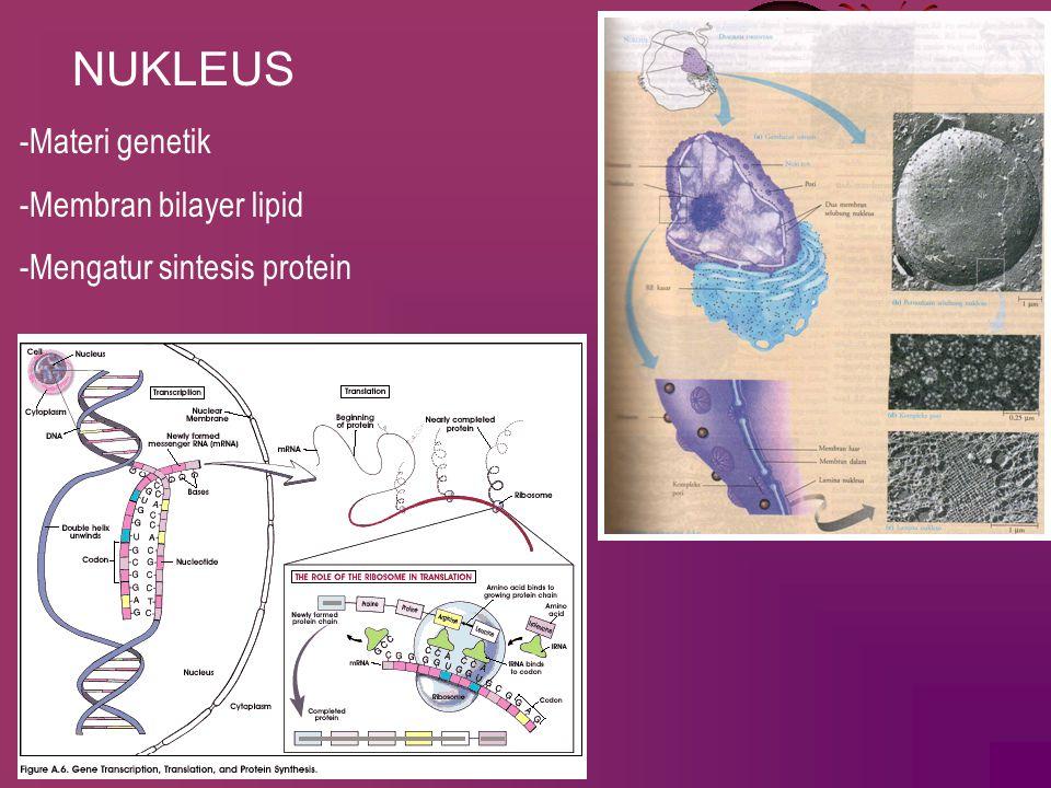 NUKLEUS -Materi genetik -Membran bilayer lipid -Mengatur sintesis protein