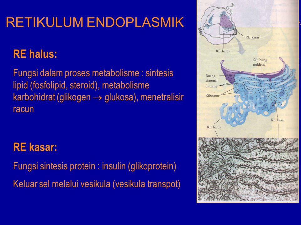 RETIKULUM ENDOPLASMIK RE halus: Fungsi dalam proses metabolisme : sintesis lipid (fosfolipid, steroid), metabolisme karbohidrat (glikogen  glukosa),