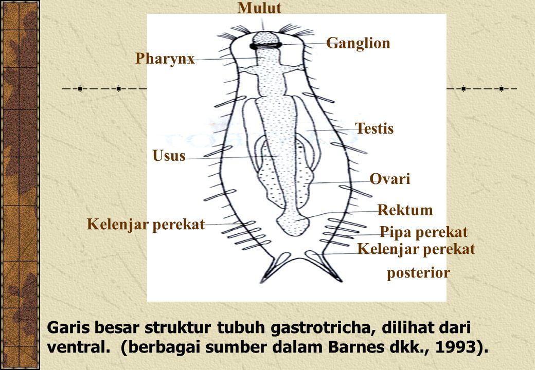 Garis besar struktur tubuh gastrotricha, dilihat dari ventral. (berbagai sumber dalam Barnes dkk., 1993). Ganglion Testis Ovari Rektum Pipa perekat Ke
