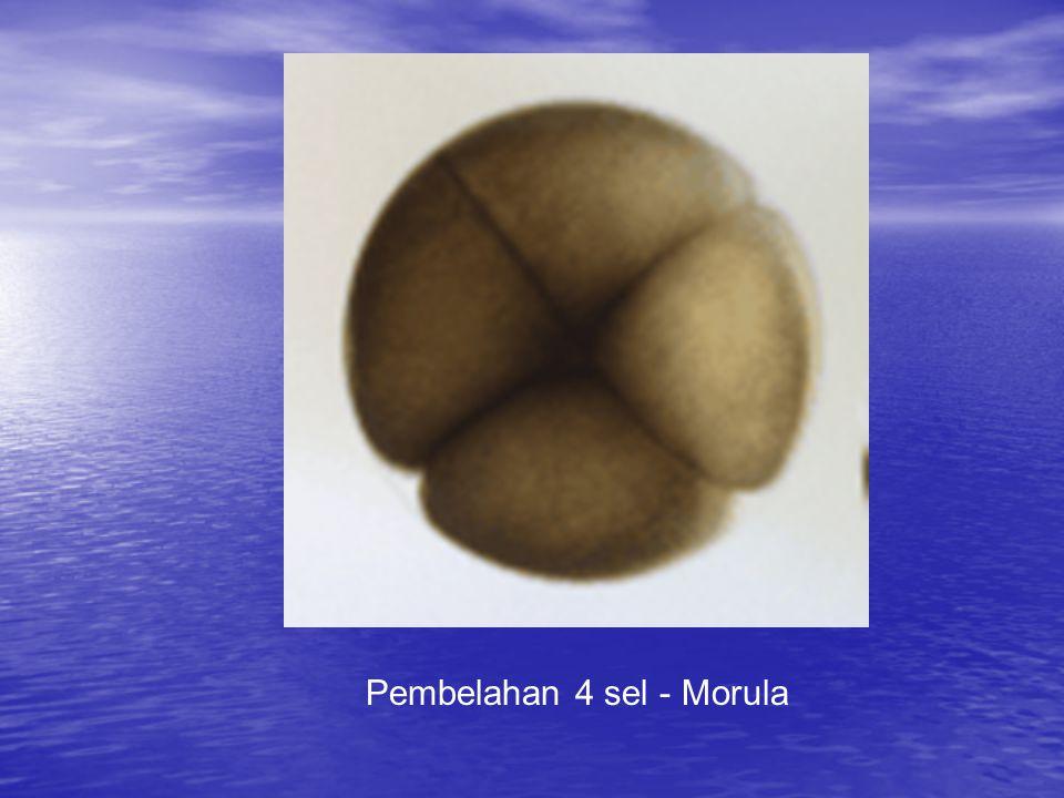 Pembelahan 4 sel - Morula