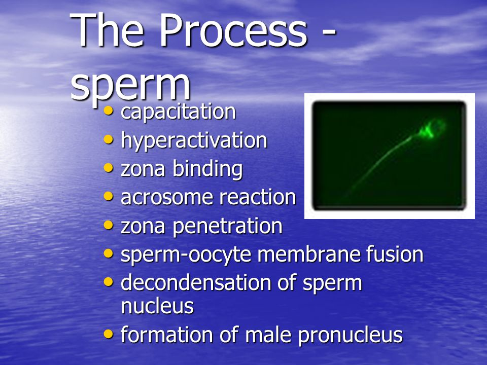 The Process - Egg Ovulation Ovulation Sperm-egg membrane fusion Sperm-egg membrane fusion Egg activation Egg activation –increase in Ca++ –cortical reaction - zona block –completion of meiosis (2nd PB) formation of female pronucleus formation of female pronucleus Syngamy - fusion of both pronuclei Syngamy - fusion of both pronuclei