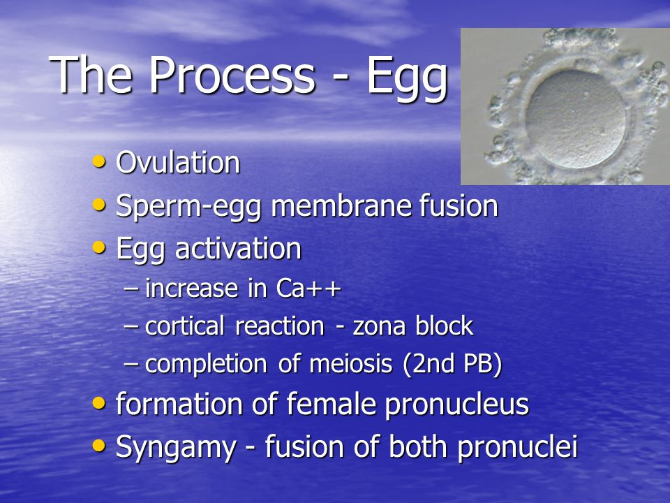 Capacitation process of sperm becoming fertile process of sperm becoming fertile occurs in uterus occurs in uterus must be removed from seminal fluid must be removed from seminal fluid –in vitro, wash sperm capacitated sperm have the ability to fertilize the egg capacitated sperm have the ability to fertilize the egg