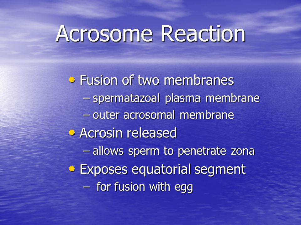 Acrosome Reaction Fusion of two membranes Fusion of two membranes –spermatazoal plasma membrane –outer acrosomal membrane Acrosin released Acrosin rel