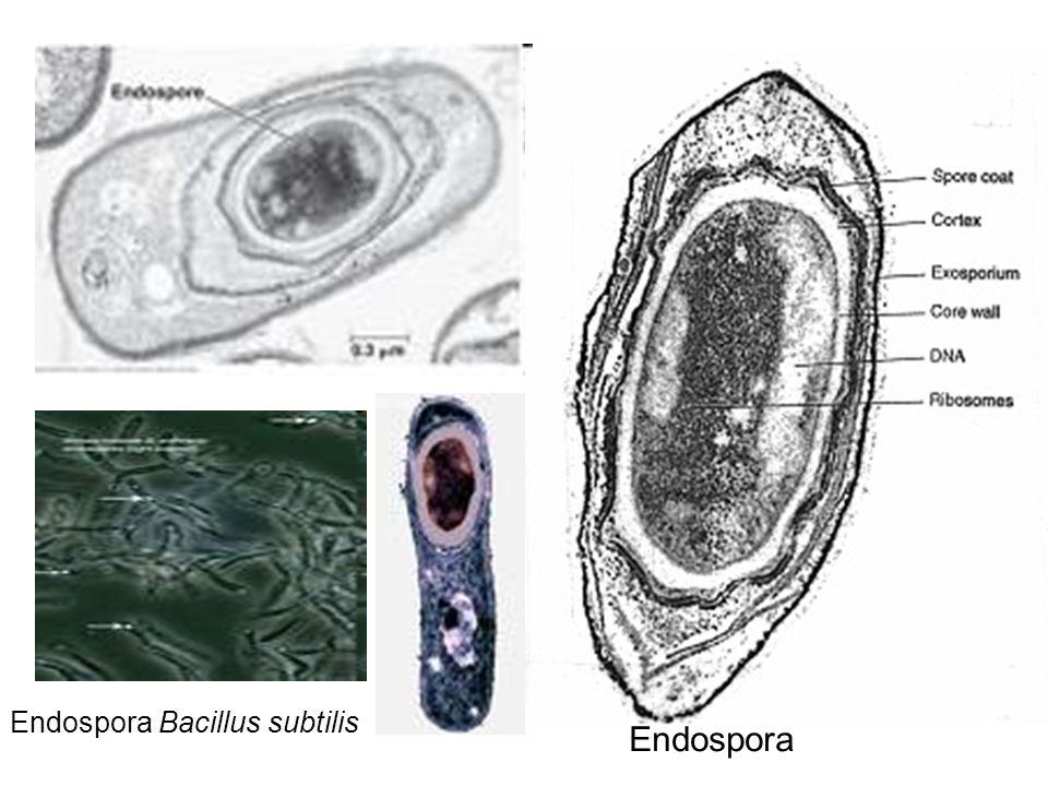 Endospora Bacillus subtilis Endospora
