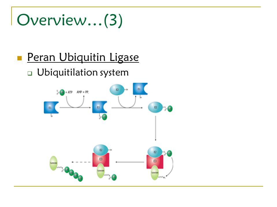 Overview…(3) Peran Ubiquitin Ligase  Ubiquitilation system