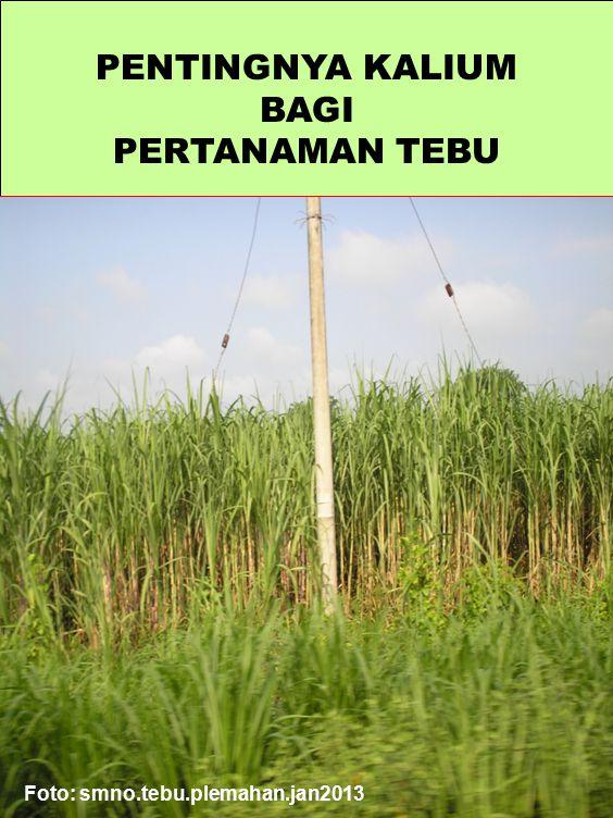 PENTINGNYA KALIUM BAGI PERTANAMAN TEBU Foto: smno.tebu.plemahan.jan2013