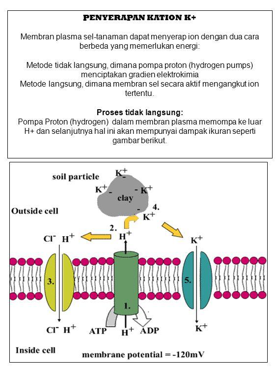 PENYERAPAN KATION K+ Membran plasma sel-tanaman dapat menyerap ion dengan dua cara berbeda yang memerlukan energi: Metode tidak langsung, dimana pompa