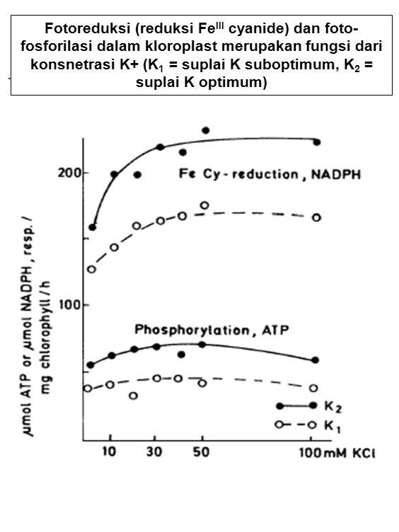 Fotoreduksi (reduksi Fe III cyanide) dan foto- fosforilasi dalam kloroplast merupakan fungsi dari konsnetrasi K+ (K 1 = suplai K suboptimum, K 2 = sup