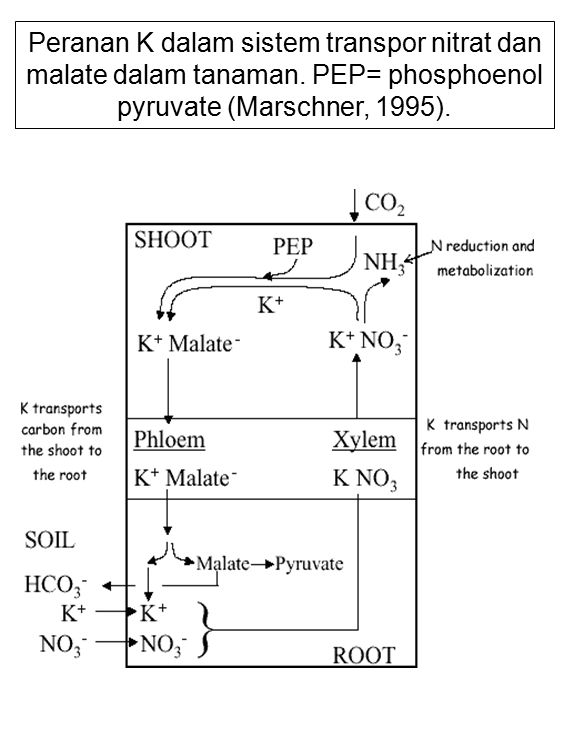 Peranan K dalam sistem transpor nitrat dan malate dalam tanaman. PEP= phosphoenol pyruvate (Marschner, 1995).