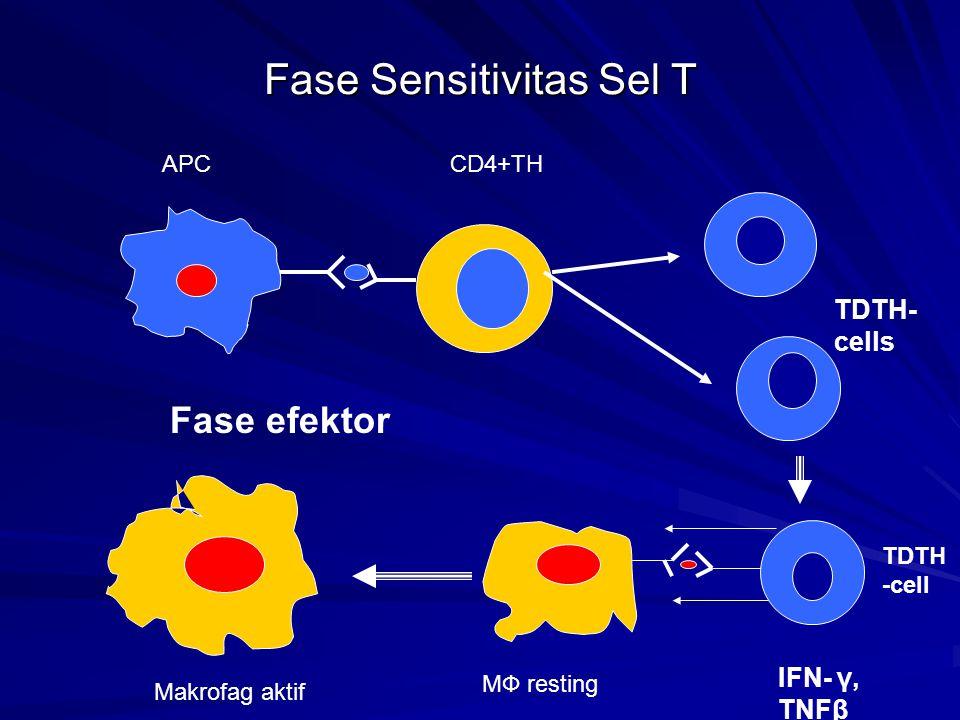 Fase Sensitivitas Sel T TDTH- cells APCCD4+TH IFN- γ, TNFβ MФ resting Makrofag aktif Fase efektor TDTH -cell