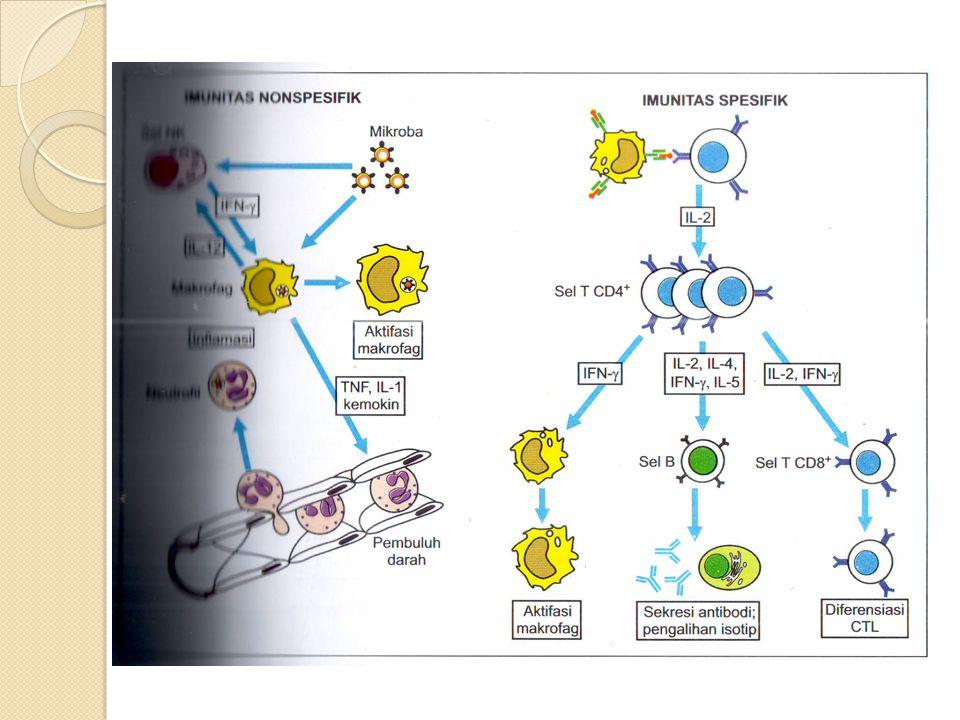  TNF konsentrasi tinggi  masuk sirkulasi sistemik  Pirogen endogenus hypothalamus  Pirogen eksogenus  di dalam serum bersama IL-1  Memacu fagosit meningkatkan sekresi IL-1& IL- 6  Bersama IL-1 & IL-6 memacu sintesis protein fase akut oleh hepatosit  TNF konsentrasi sangat tinggi  lethal  Kolaps sirkulasi: Disseminated intravascular coagulation (DIC).