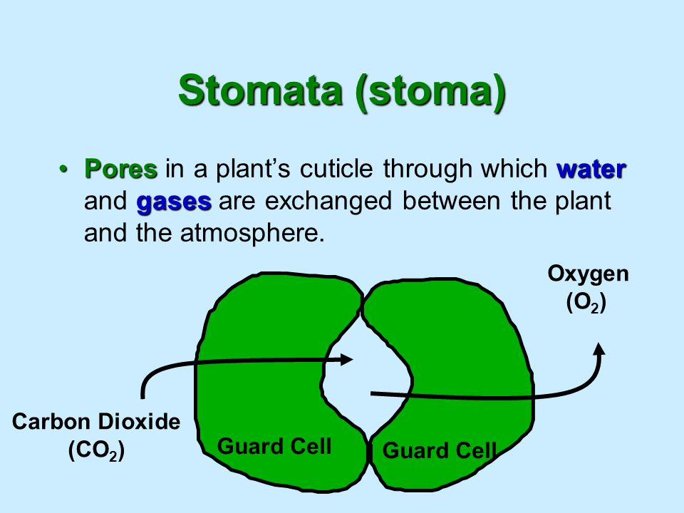Stomata (stoma) Poreswater gasesPores in a plant's cuticle through which water and gases are exchanged between the plant and the atmosphere. Guard Cel