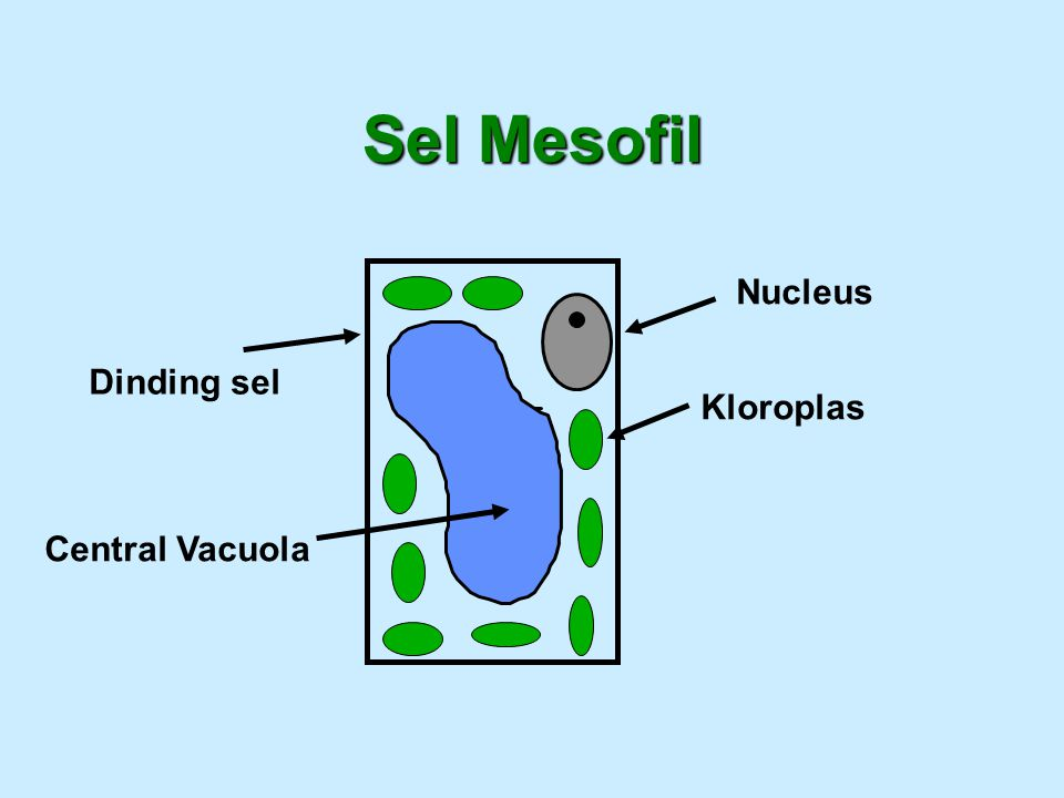 Sel Mesofil Dinding sel Nucleus Kloroplas Central Vacuola
