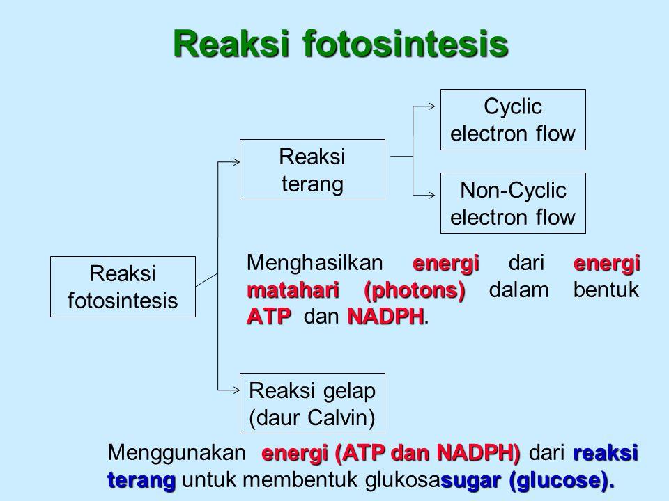 Reaksi fotosintesis energienergi matahari (photons) ATPNADPH Menghasilkan energi dari energi matahari (photons) dalam bentuk ATP dan NADPH. Reaksi fot