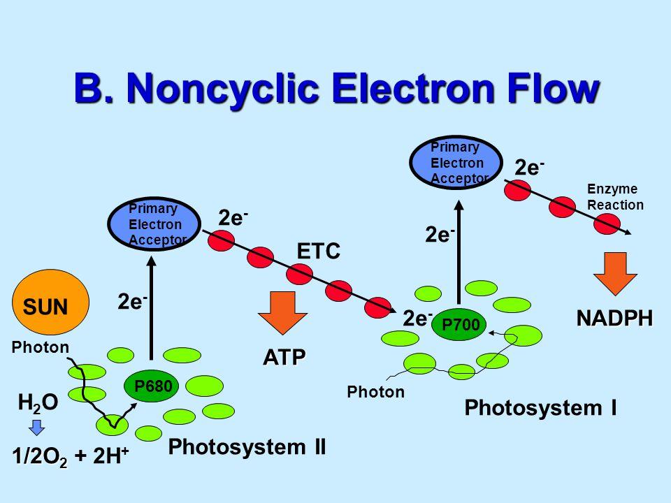 B. Noncyclic Electron Flow P700 Photosystem I P680 Photosystem II Primary Electron Acceptor Primary Electron Acceptor ETC Enzyme Reaction H 2 O 1/2O 2