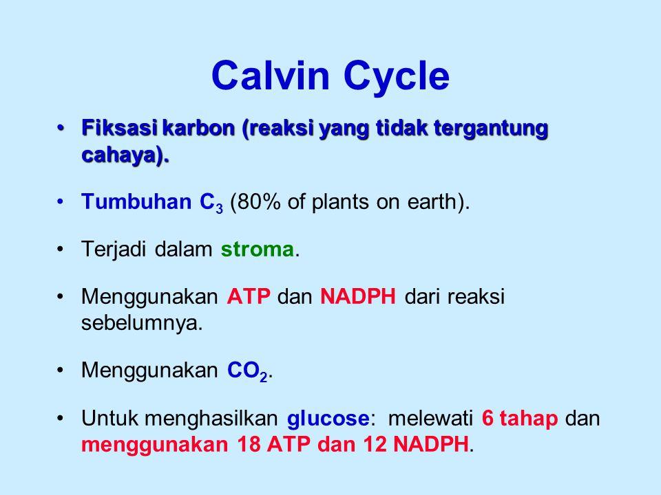 Fiksasi karbon (reaksi yang tidak tergantung cahaya).Fiksasi karbon (reaksi yang tidak tergantung cahaya). Tumbuhan C 3 (80% of plants on earth). Terj
