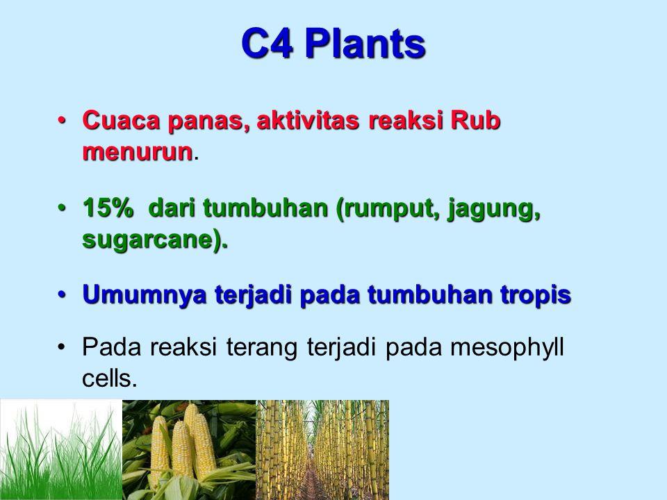 C4 Plants Cuaca panas, aktivitas reaksi Rub menurunCuaca panas, aktivitas reaksi Rub menurun. 15% dari tumbuhan (rumput, jagung, sugarcane).15% dari t
