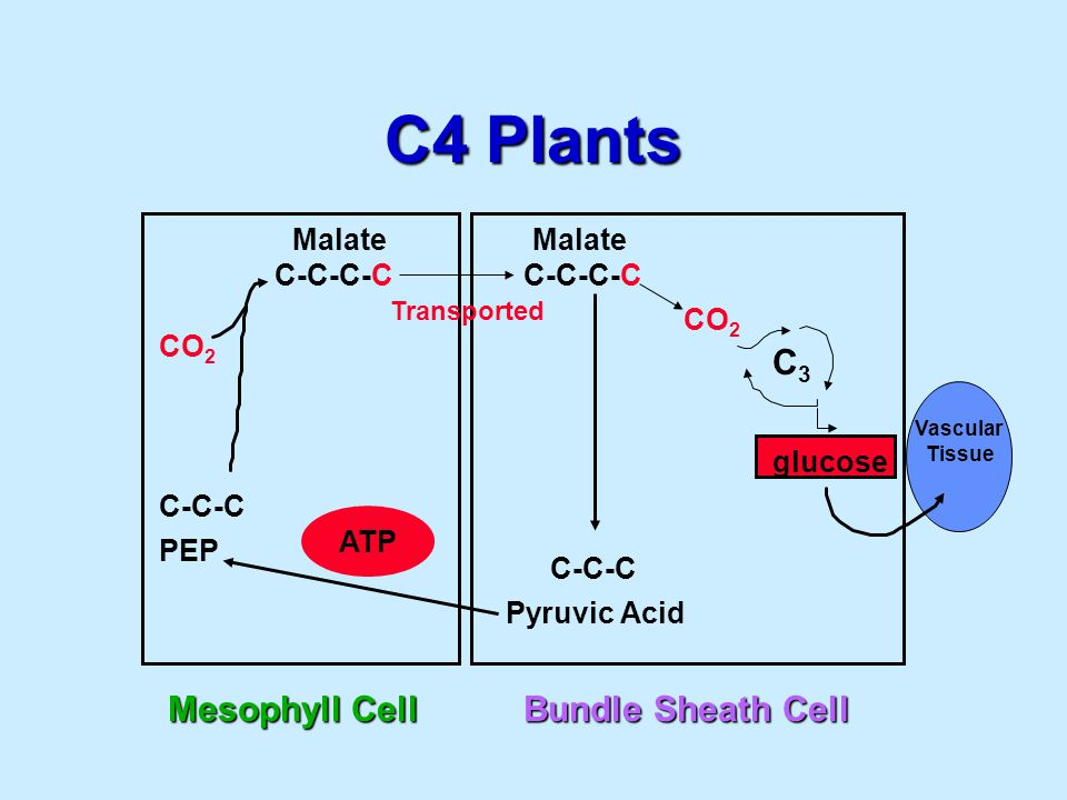 C4 Plants Mesophyll Cell CO 2 C-C-C PEP C-C-C-C Malate ATP Bundle Sheath Cell C-C-C Pyruvic Acid C-C-C-C CO 2 C3C3 Malate Transported glucose Vascular