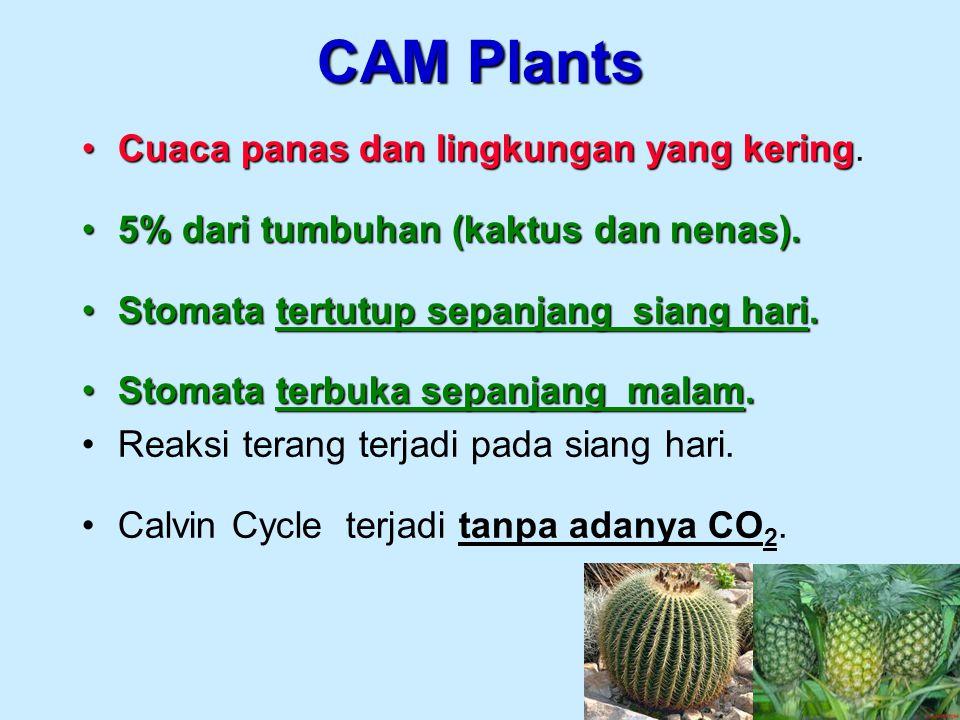 CAM Plants Cuaca panas dan lingkungan yang keringCuaca panas dan lingkungan yang kering. 5% dari tumbuhan (kaktus dan nenas).5% dari tumbuhan (kaktus