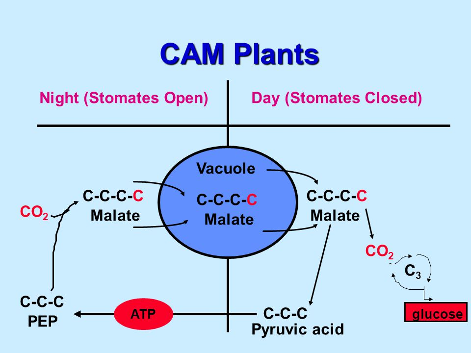 CAM Plants Night (Stomates Open)Day (Stomates Closed) Vacuole C-C-C-C Malate C-C-C-C Malate C-C-C-C CO 2 C3C3 C-C-C Pyruvic acid ATP C-C-C PEP glucose