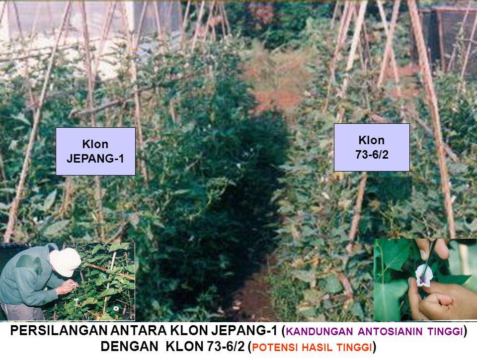 PERSILANGAN ANTARA KLON JEPANG-1 ( KANDUNGAN ANTOSIANIN TINGGI ) DENGAN KLON 73-6/2 ( POTENSI HASIL TINGGI ) Klon JEPANG-1 Klon 73-6/2