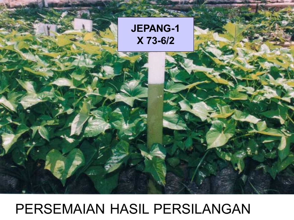 PERSEMAIAN HASIL PERSILANGAN JEPANG-1 X 73-6/2