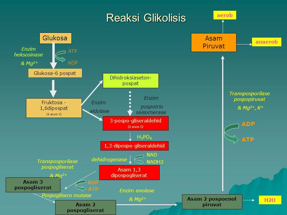 Reaksi Glikolisis Glukosa Fruktosa - 1,6dipospat (6 atom C) Glukosa-6 pospat ATP ADP Enzim heksosinase & Mg 2+ 3-pospo-gliseraldehid (3 atom C) Dihidroksiaseton- pospat Enzim aldolase Enzim pospotrio saisomerase 1,3-dipospo-gliseraldehid H 3 PO 4 Asam 1,3 dipospogliserat NAD NADH2 dehidrogenase Asam 3 pospogliserat Transposporilase pospogliserat & Mg 2+ Asam 2 pospogliserat Pospoglisero mutase Asam 2 pospoenol piruvat Enzim enolase & Mg 2+ H2O Asam Piruvat Transposporilase pospopiruvat & Mg 2+, K + ATP ADP ATP aerob anaerob