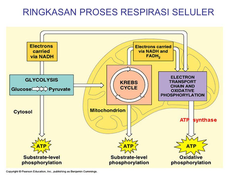SISTEM TRANSPOR ELEKTRON Terjadi di bagian membran dalam mitokondria. Hidrogen dari siklus krebs diubah menjadi proton dan elektron. O 2 berperan seba