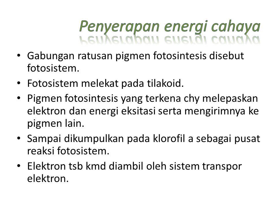 Gabungan ratusan pigmen fotosintesis disebut fotosistem. Fotosistem melekat pada tilakoid. Pigmen fotosintesis yang terkena chy melepaskan elektron da