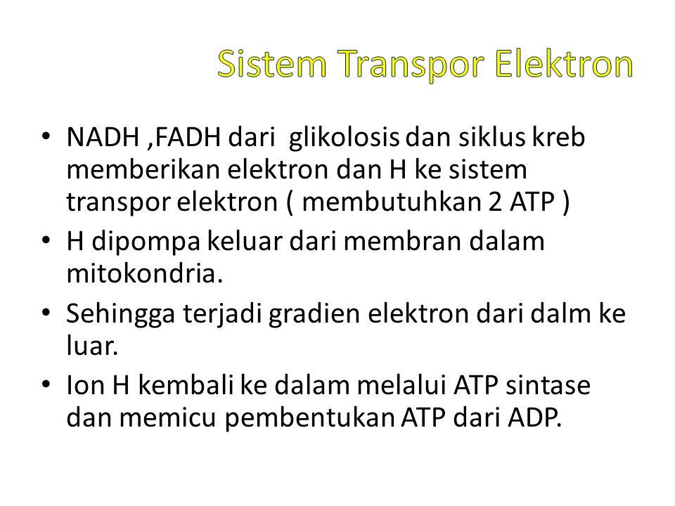 NADH,FADH dari glikolosis dan siklus kreb memberikan elektron dan H ke sistem transpor elektron ( membutuhkan 2 ATP ) H dipompa keluar dari membran dalam mitokondria.
