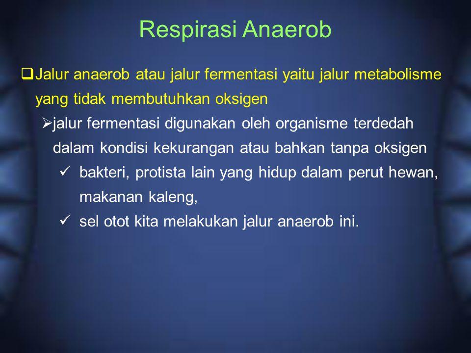 Respirasi Anaerob  Jalur anaerob atau jalur fermentasi yaitu jalur metabolisme yang tidak membutuhkan oksigen  jalur fermentasi digunakan oleh organ