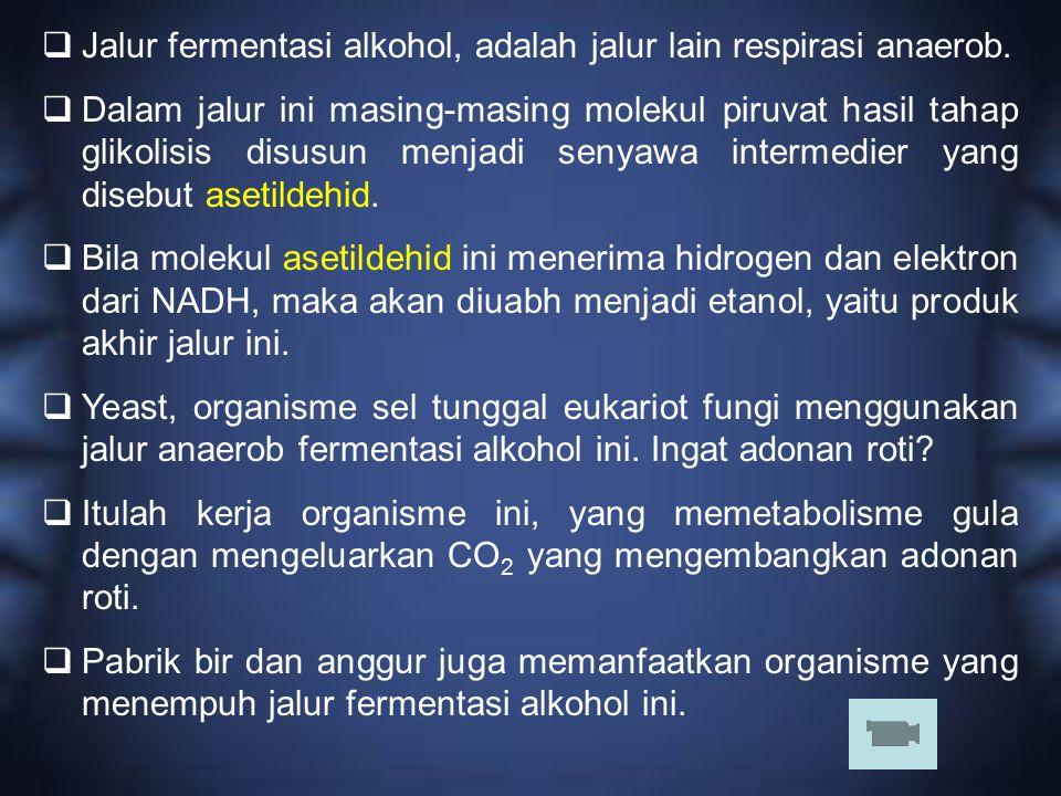  Jalur fermentasi alkohol, adalah jalur lain respirasi anaerob.  Dalam jalur ini masing-masing molekul piruvat hasil tahap glikolisis disusun menjad