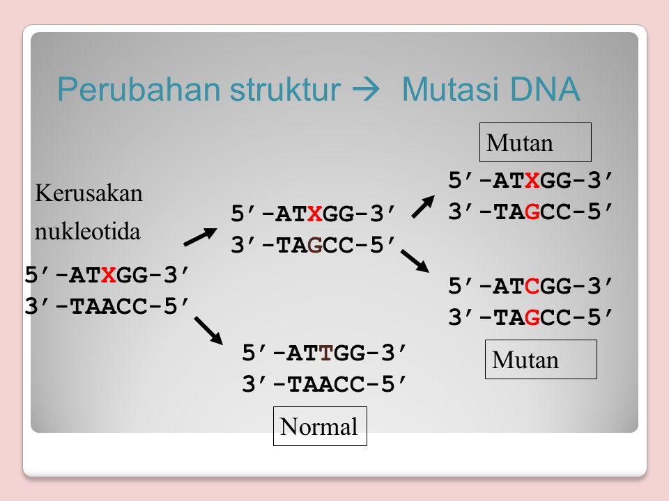 Perubahan struktur  Mutasi DNA 5'-ATXGG-3' 3'-TAGCC-5' 5'-ATXGG-3' 3'-TAGCC-5' Normal 5'-ATXGG-3' 3'-TAACC-5' 5'-ATTGG-3' 3'-TAACC-5' 5'-ATCGG-3' 3'-TAGCC-5' Kerusakan nukleotida Mutan