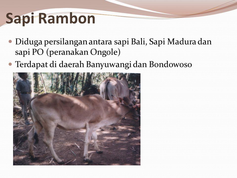 Sapi Rambon Diduga persilangan antara sapi Bali, Sapi Madura dan sapi PO (peranakan Ongole) Terdapat di daerah Banyuwangi dan Bondowoso