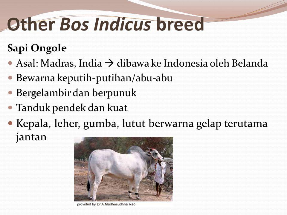 Other Bos Indicus breed Sapi Ongole Asal: Madras, India  dibawa ke Indonesia oleh Belanda Bewarna keputih-putihan/abu-abu Bergelambir dan berpunuk Tanduk pendek dan kuat Kepala, leher, gumba, lutut berwarna gelap terutama jantan