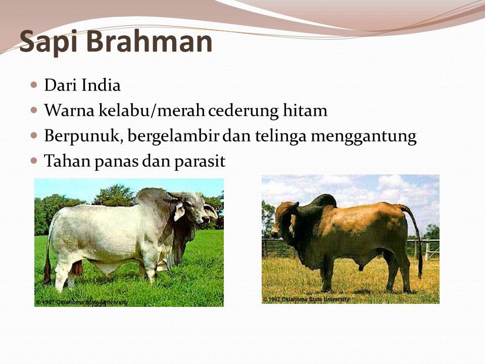 Sapi Brahman Dari India Warna kelabu/merah cederung hitam Berpunuk, bergelambir dan telinga menggantung Tahan panas dan parasit