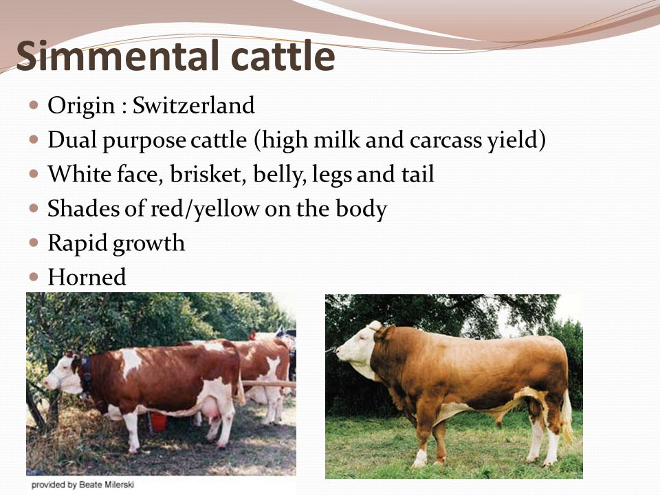 Simmental cattle Origin : Switzerland Dual purpose cattle (high milk and carcass yield) White face, brisket, belly, legs and tail Shades of red/yellow