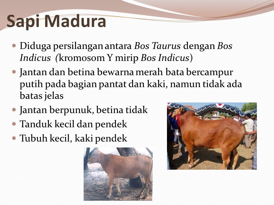 Sapi Madura Diduga persilangan antara Bos Taurus dengan Bos Indicus (kromosom Y mirip Bos Indicus) Jantan dan betina bewarna merah bata bercampur putih pada bagian pantat dan kaki, namun tidak ada batas jelas Jantan berpunuk, betina tidak Tanduk kecil dan pendek Tubuh kecil, kaki pendek