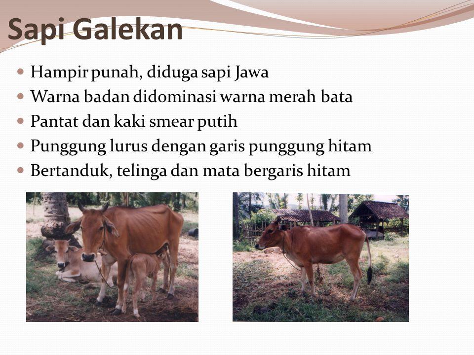 Sapi Galekan Hampir punah, diduga sapi Jawa Warna badan didominasi warna merah bata Pantat dan kaki smear putih Punggung lurus dengan garis punggung hitam Bertanduk, telinga dan mata bergaris hitam