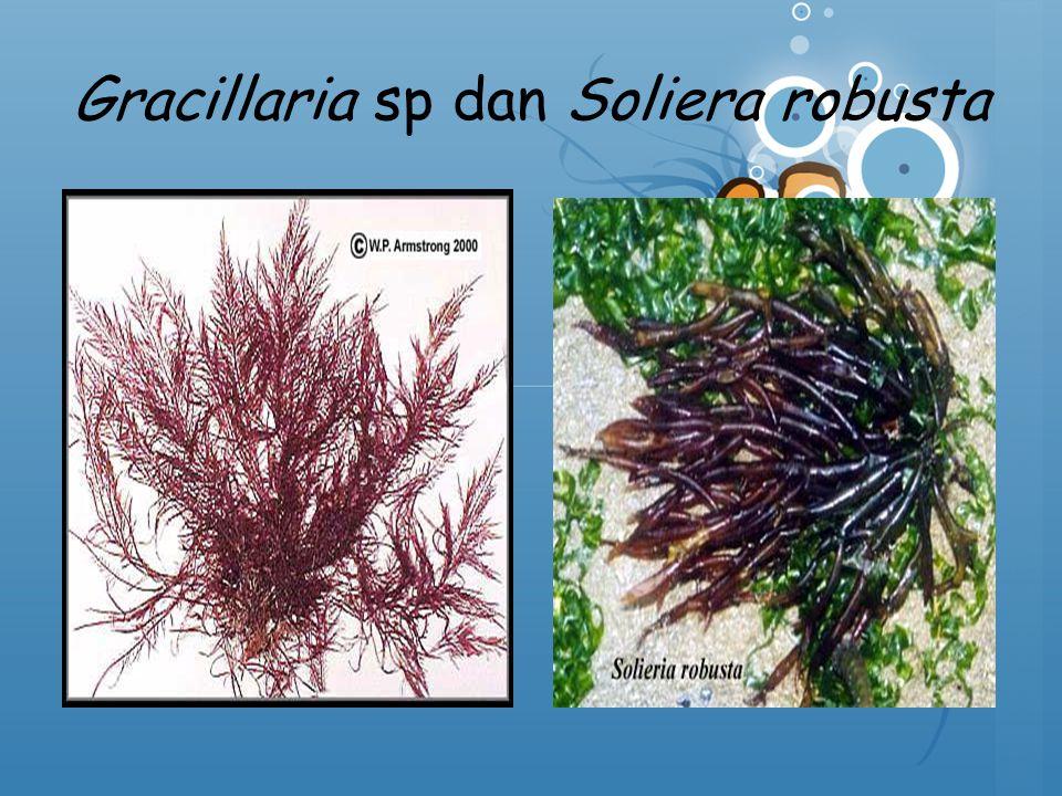 Gracillaria sp dan Soliera robusta