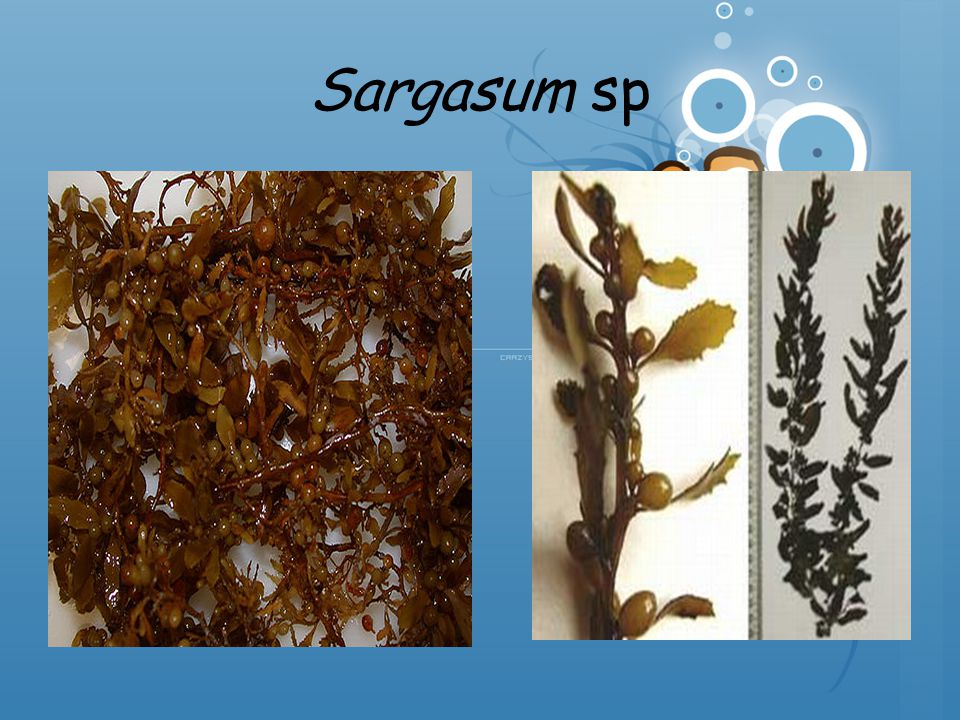 Sargasum sp