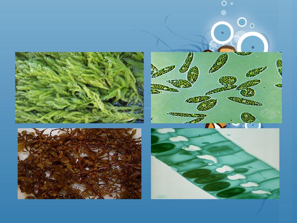 ALasan dimasukkan Protista Berkembang biak dengan spora (Ciri Kingdom Fungi), Memiliki sel-sel berflagel dan bergerak amoboid (Ciri kingdom animalia), Jadi satu organisme yang memiliki dua ciri  Protista