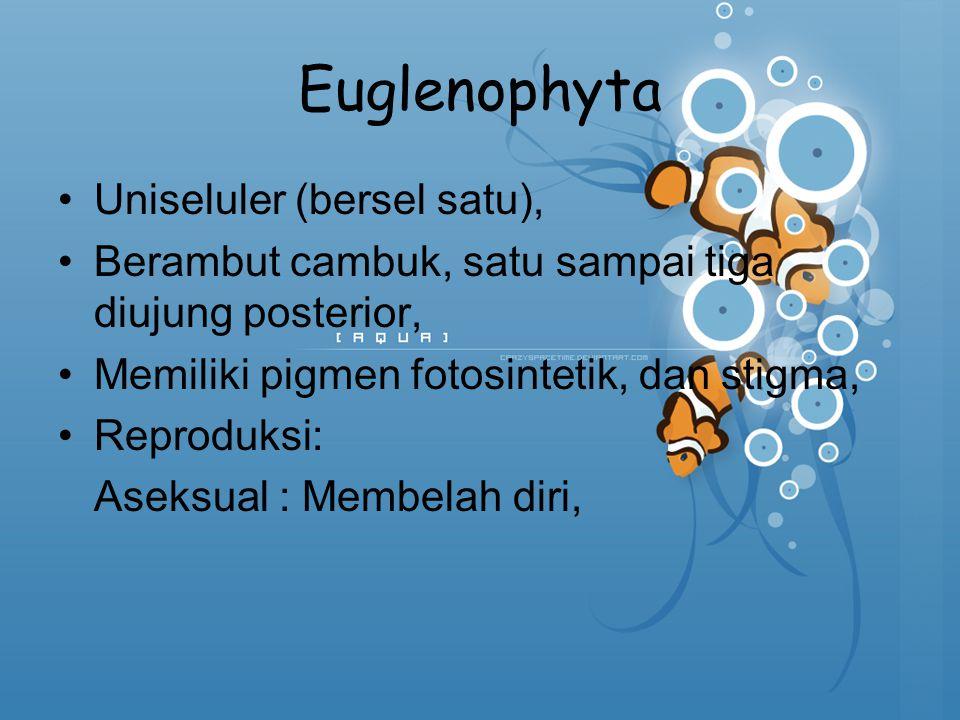 Euglenophyta Uniseluler (bersel satu), Berambut cambuk, satu sampai tiga diujung posterior, Memiliki pigmen fotosintetik, dan stigma, Reproduksi: Asek