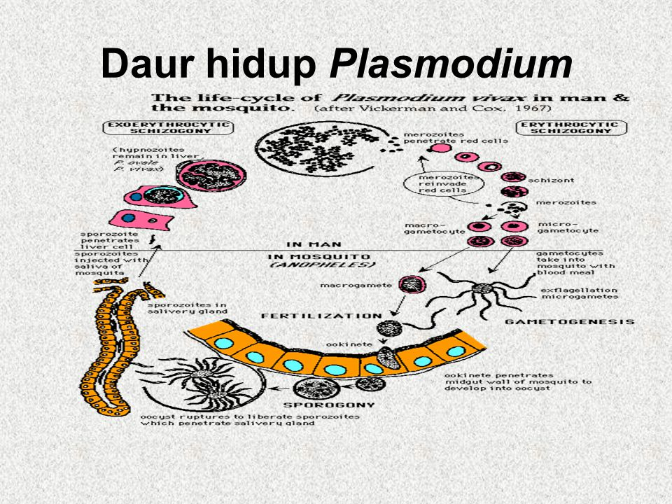 Daur hidup Plasmodium