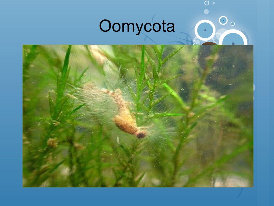 Oomycota