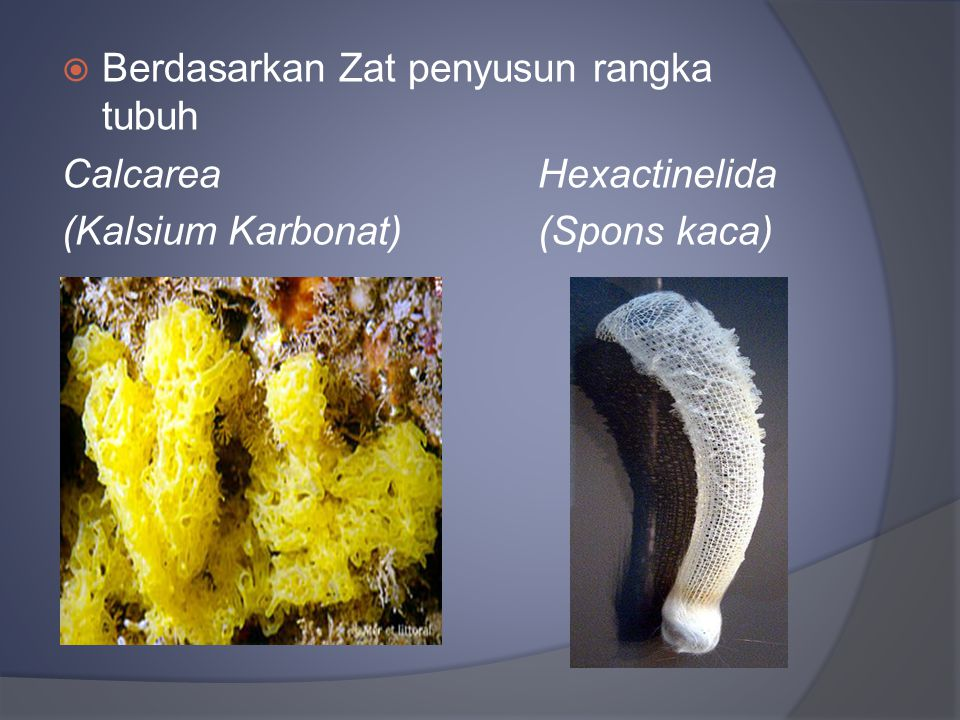  Berdasarkan Zat penyusun rangka tubuh Calcarea Hexactinelida (Kalsium Karbonat)(Spons kaca)