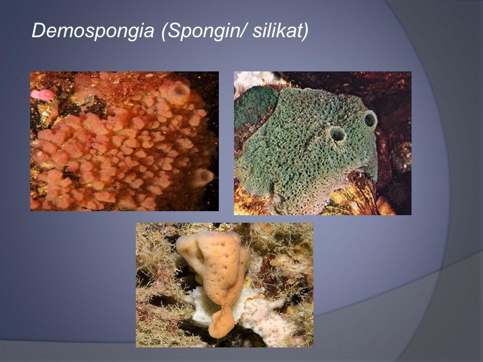 Demospongia (Spongin/ silikat)