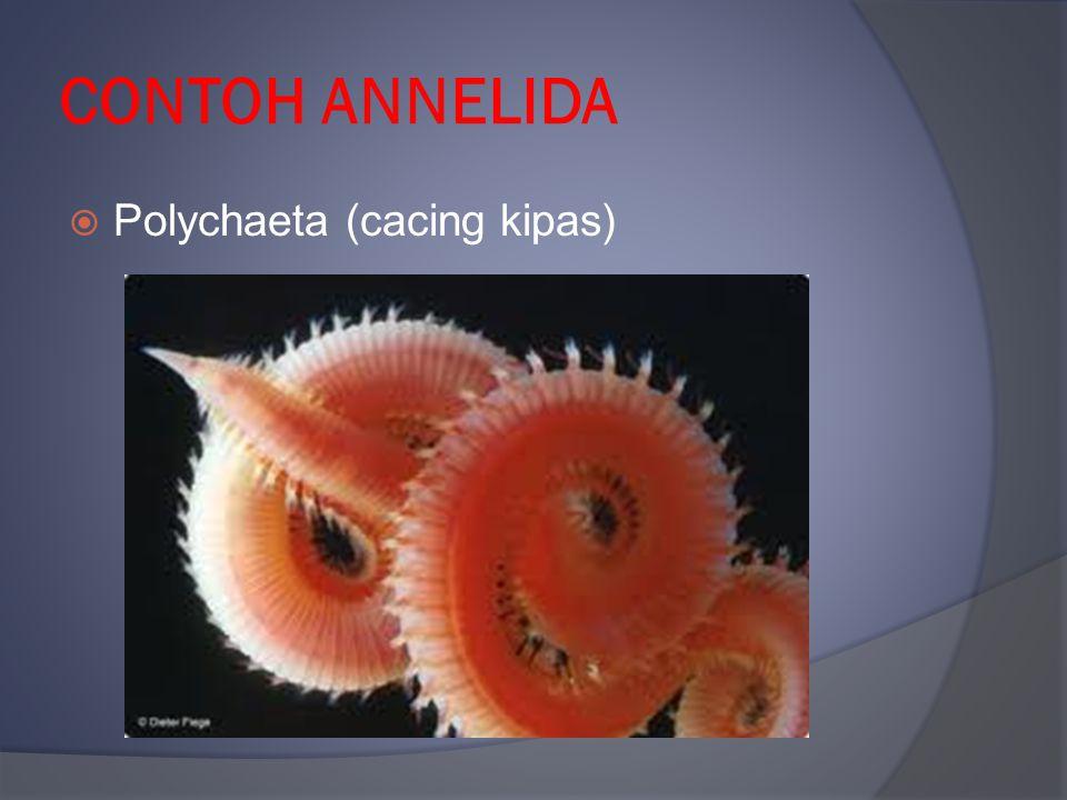CONTOH ANNELIDA  Polychaeta (cacing kipas)