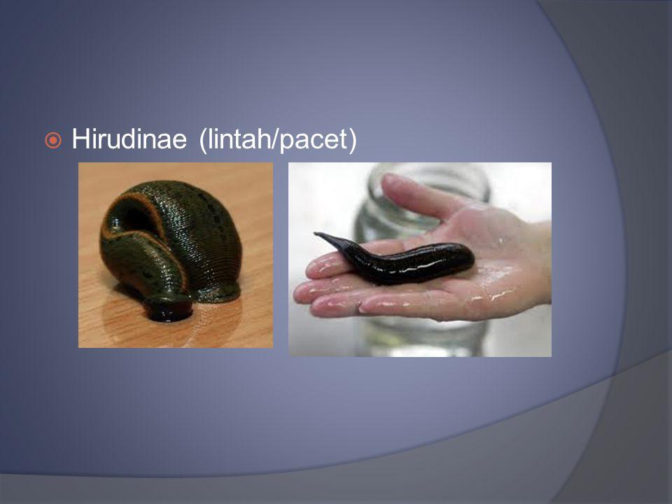  Hirudinae (lintah/pacet)