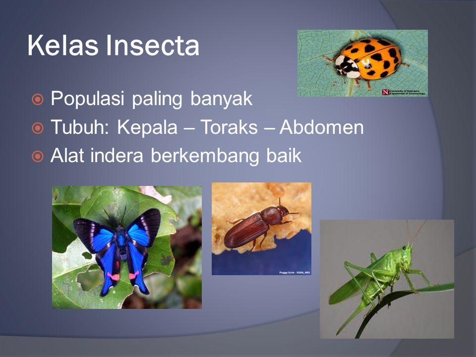 Kelas Insecta  Populasi paling banyak  Tubuh: Kepala – Toraks – Abdomen  Alat indera berkembang baik